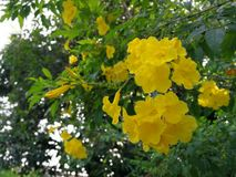 Yellow bells or yellow trumpet flowers. Yellow bell or yellow trumpet flowers Royalty Free Stock Photography