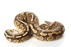 Yellow belly ball python Stock Images