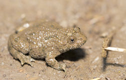 Yellow-belly Toad (Bombina variegata) Royalty Free Stock Photography