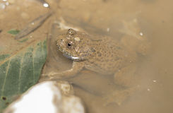Yellow-belly Toad (Bombina variegata) Royalty Free Stock Images