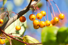 Yellow berries on branch. Yellow berries detail on branch Stock Image
