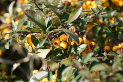 Yellow berries. A close-up on some yellow berries Stock Image