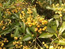 Yellow berries Stock Images