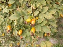 Yellow berries Royalty Free Stock Image
