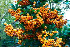 Yellow berries of a Pyracantha (firethorn) Royalty Free Stock Photos