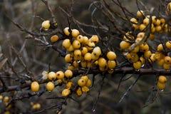 Yellow berries royalty free stock photos