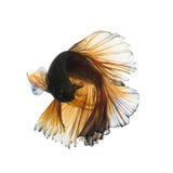Yellow betta Royalty Free Stock Images