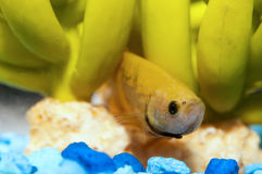 Yellow Betta fish Stock Image