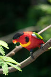 Yellow-Bibbed Lory Royalty Free Stock Image