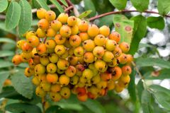 Yellow big clusters of a mountain ash in garden. Autumn harvest of berries stock images
