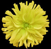 Yellow big flower, light green center on a black  background isolated  with clipping path. Closeup. big shaggy  flower. for design Royalty Free Stock Images