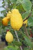 Yellow juicy and wrinkled lemon Stock Image
