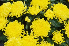 Pure yellow big flowers, natural background, garden beauty Royalty Free Stock Photography