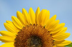Yellow big sunflower and blue sky Stock Photo