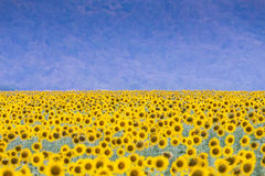 Yellow big sunflower field with full bloom condition Stock Images