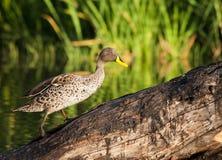 Yellow bill duck Stock Image