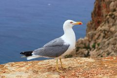 Yellow bill seagull posing in rocky sea mountain Stock Photo