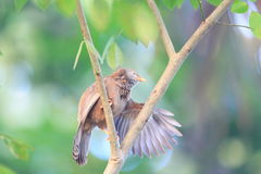 Yellow-billed Babbler Royalty Free Stock Photography