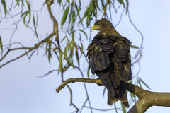 Yellow-billed Black Kite Perched. The Yellow-billed Black Kite is considered to be a native species of Kenya and is a common resident in areas of human Stock Image