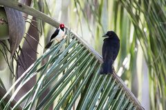 Yellow-billed cardinal and giant cowbird on a coconut palm tree Royalty Free Stock Photos