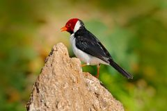 Yellow-billed Cardinal, Paroaria capitata, black and white song bird with red head, sitting on the tree trunk, in the nature habit. At royalty free stock image