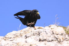 Yellow-billed chough Royalty Free Stock Images