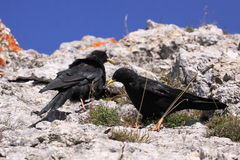 Yellow-billed choughs Royalty Free Stock Photography