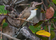 Yellow-billed Cuckoo Stock Image