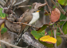 Yellow-billed Cuckoo Royalty Free Stock Photography