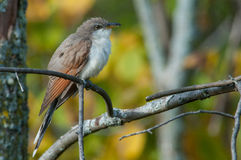Yellow-billed Cuckoo. Perched in a tree royalty free stock images