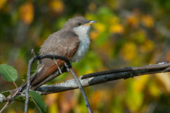 Yellow-billed Cuckoo. Perched in a tree stock photos