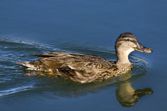 Free Yellow-billed Duck Royalty Free Stock Photo - 12835135