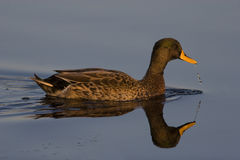 Yellow billed duck Royalty Free Stock Images