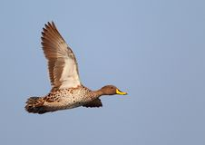 Yellow-billed Duck Stock Photography
