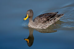 Yellow-billed duck. Reflected in water Royalty Free Stock Photo