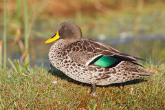 Yellow-billed Duck Stock Image