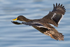 Yellow billed Duck. Flying over water with focus on the eye Royalty Free Stock Image