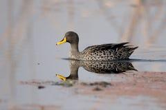 Free Yellow-billed Duck, Anas Undulata Stock Photo - 58826430