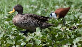 Yellow-billed duck and African jacana royalty free stock photo