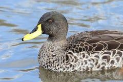 Yellow billed duck Anas undulata stock images