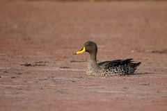 Yellow-billed duck, Anas undulata Stock Images