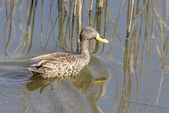 Yellow-billed Duck, Anas Undulata, Swimming On A Dam Stock Photos