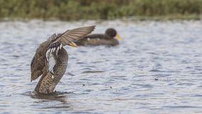 Yellow-billed Duck Flapping Feathers. Yellow-billed duck, Anas undulata, is flapping feathers  on lake in Dinsho Wetlands, Bale Mountain, Ethiopia, Africa stock images