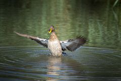 Free Yellow Billed Duck, Flapping Its Wings. Royalty Free Stock Images - 161514849