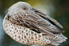 Yellow-billed Duck with head buried in feathers Royalty Free Stock Photo