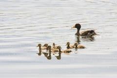 Yellow-billed Duck & Her Ducklings Stock Photo