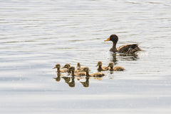 Yellow-billed Duck & her ducklings Stock Photo