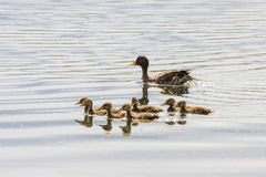 Yellow-billed Duck & her ducklings Stock Photos
