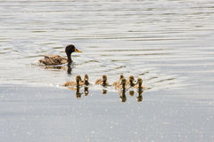 Yellow-billed Duck & her ducklings Stock Image