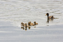 Yellow-billed Duck & her ducklings Royalty Free Stock Photo